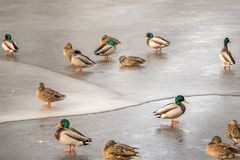 Ducks on ice stock photo