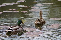 Male and Female Mallard Ducks. These Mallard Ducks, or Wild Duck, is quite fond of the Creek and pond a couple blocks from my house. I see this little family Royalty Free Stock Photos