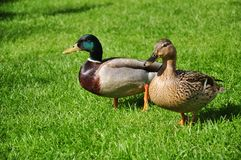 Male and female mallard on green grass background Stock Photos