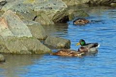 Male and female mallard. Near rocks on the sea Royalty Free Stock Photo