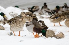 Male and female mallard in the snow. Close to the lake Royalty Free Stock Photo