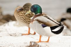 Male and female mallard in the snow. Next to the lake Stock Images