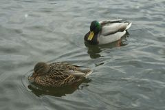 Mallards on the water. Male and female mallard swimming in the river Stock Photos