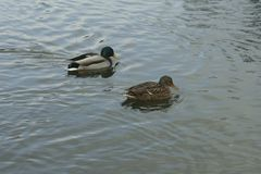 Mallards on the water. Male and female mallard swimming in the river Stock Image