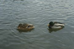 Mallards on the water. Male and female mallard swimming in the river Royalty Free Stock Image