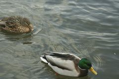 Mallards on the water. Male and female mallard swimming in the river Stock Images