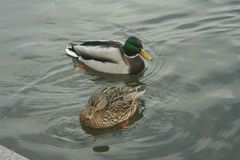 Mallards on the water. Male and female mallard swimming in the river Stock Photo