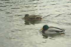 Mallards on the water. Male and female mallard swimming in the river Royalty Free Stock Images