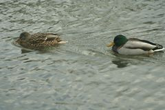 Mallards on the water. Male and female mallard swimming in the river Stock Photography
