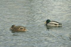 Mallards on the water. Male and female mallard swimming in the river Royalty Free Stock Photos