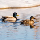 Male and Female Mallard Swimming in Springtime. A male and female mallard duck swim in a ditch just off of the highway in Saskatchewan. It is April and the birds Royalty Free Stock Images