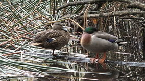 Male and female Mallard wild ducks standing  in a pond stock video footage