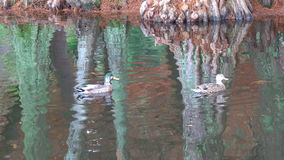 Male and female Mallard wild ducks swim in a pond stock video footage