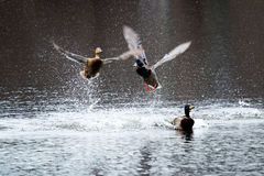 Male and Female mallards fight. Two male mallards fight over a female duck with lots of splashing Royalty Free Stock Photo