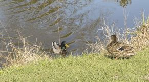 Male and female mallards meeting. A male and female mallard ducks meeting up at the edge of the pond Stock Photography