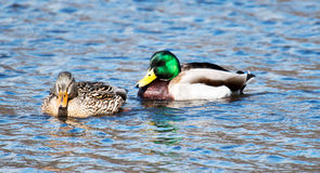 Male and Female Mallards. Two ducks, a male and a female mallards, swimming together in Belmont Lake State Park, Long Island,New York Stock Photography