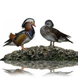 Male And Female Mandarin Ducks Royalty Free Stock Photos