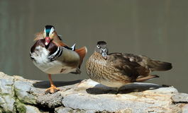 Male and female mandarin ducks, aix galericulata Royalty Free Stock Photos