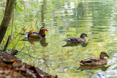 Male and Female Mandarin Ducks Swimming in Pond. Male and Female Mandarin Duck and Female Mallard Duck Swimming Together in Pond with Delicate Ripples and Green Royalty Free Stock Photos