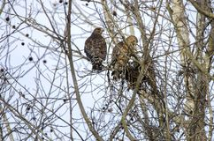 Red-shouldered Hawk pair building nest, Georgia, USA Royalty Free Stock Photo