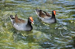 Male and female Moorhen (lat. Gallinula chloropus) Royalty Free Stock Photos