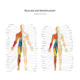 Male and female muscle and bony system charts with explanations. Anatomy guide of human physiology. Stock Photos