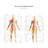 Male and female muscle and bony system charts with explanations. Anatomy guide of human physiology. Royalty Free Stock Image