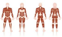 Free Male Female Muscles Anatomic Comparison Stock Image - 100346031