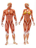 Male and Female musculoskeletal system. Isolated on a white background .Part of a muscle medical series Stock Images
