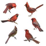 Male and Female Northern Cardinals Royalty Free Stock Image