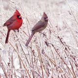 Male and Female Northern Cardinals. In the winter Stock Photography