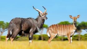 Male and female Nyala antelope. Male and female Nyala antelope Tragelaphus angasii. Wildlife animal Stock Photos