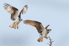 Male and female osprey. At a blue sky Royalty Free Stock Image