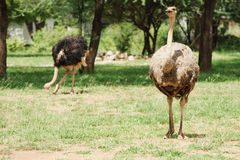 Male and female ostrich Royalty Free Stock Image