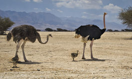 Male and female of Ostrich with chicks Stock Photos