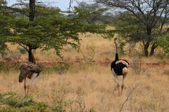 A male and female ostrich at Meru National Park, Kenya royalty free stock image