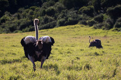 Male and female ostrich Stock Image