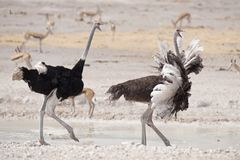 Male and female ostrich running. Royalty Free Stock Images