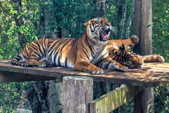 A pair of Sumatran tigers relaxing in an enclosure royalty free stock photography