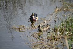 A male and female pair of wood ducks royalty free stock photo
