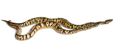 Male and female Pastel calico Royal Python Royalty Free Stock Photo