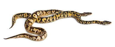 Male and female Pastel calico Royal Python Royalty Free Stock Images