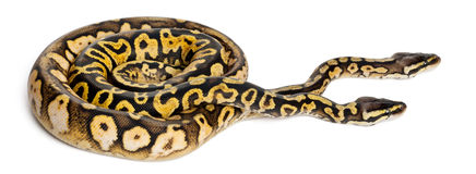 Male and female Pastel calico Royal Python Stock Photos
