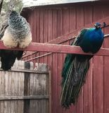 Bonnie Springs, Red Rock National Conservation Area, Nevada, USA. Male and Female Peacocks resting on grounds of Bonnie Springs, in La Madre Mountain and Rainbow Stock Photo