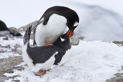 Male and female penguin Gentoo before mating spring day Stock Photos