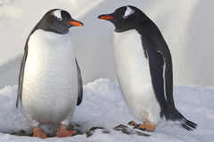 Male and female penguins Gentoo near the nest Royalty Free Stock Photos