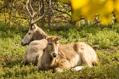 Male and Female Pere David Deer Resting Stock Image