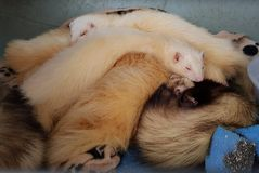 How ferrets like to sleep. Male and female pet ferrets sleeping royalty free stock photography