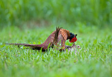 Male and female pheasant making love Royalty Free Stock Photography