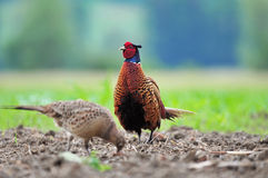 Male and female pheasant Stock Photography